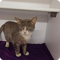 Domestic Shorthair Cat for adoption in Crown Point, Indiana - Fiona