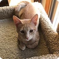 Adopt A Pet :: Buff - Whitehall, PA