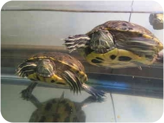 Turtle - Water for adoption in Baltimore, Maryland - Jeff & Corry