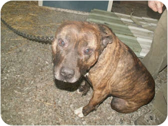 American Pit Bull Terrier Mix Dog for adoption in Cincinnati, Ohio - Buddy - Courtesy Post