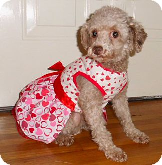 Poodle (Toy or Tea Cup) Dog for adoption in Mooy, Alabama - Molly