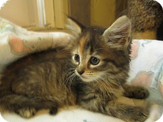 Domestic Mediumhair Kitten for adoption in Richland, Michigan - Siera
