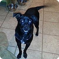 Adopt A Pet :: Bo - Bardonia, NY