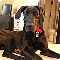 Adopt A Pet :: Thor - Broomfield, CO