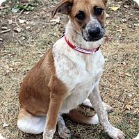 Adopt A Pet :: Cecily - Westminster, CO