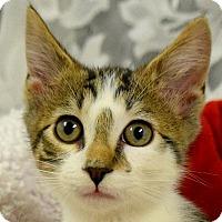 Adopt A Pet :: Cupid - Huntley, IL