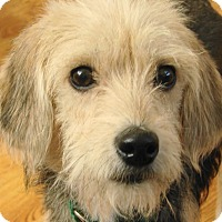 Adopt A Pet :: Sparky - Chesterfield, MO