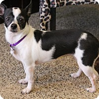 Chihuahua Mix Dog for adoption in Phoenix, Arizona - Eva