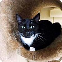 Adopt A Pet :: Boots - Odessa, FL