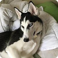Siberian Husky Dog for adoption in Lakewood, California - ATHENA