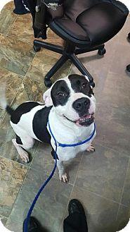 American Bulldog Mix Dog for adoption in Rincon, Georgia - Trix