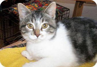 Domestic Shorthair Cat for adoption in Lacon, Illinois - Hazel