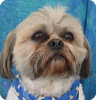 Shih Tzu/Lhasa Apso Mix Dog for adoption in Cuba, New York - Benji Trex