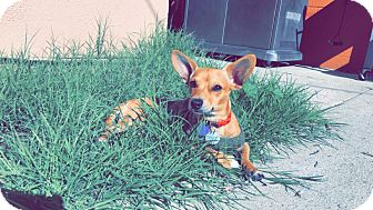 Chihuahua Mix Dog for adoption in Monrovia, California - Baby