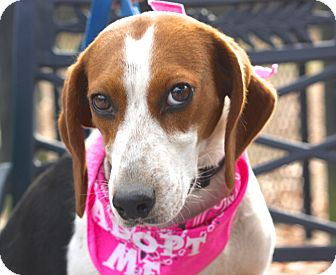 Hound (Unknown Type)/Foxhound Mix Dog for adoption in West Grove, Pennsylvania - Claire