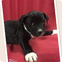 Adopt A Pet :: Pip - Smithfield, NC