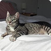 Adopt A Pet :: Felix-good first pet - Los Angeles, CA