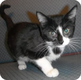 Domestic Shorthair Kitten for adoption in Jackson, Michigan - Barbara