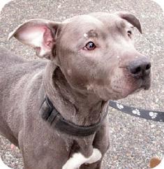 Labrador Retriever/Pit Bull Terrier Mix Dog for adoption in Medford, Massachusetts - Chickie