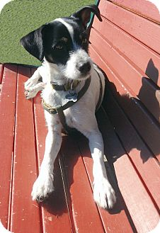 Jack Russell Terrier/Parson Russell Terrier Mix Dog for adoption in San Francisco, California - Max