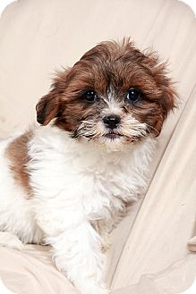 Coton de Tulear/Shih Tzu Mix Puppy for adoption in St. Louis, Missouri - Carmella Coton Tzu