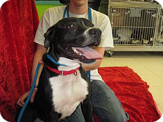 Pit Bull Terrier Mix Dog for adoption in New Cumberland, West Virginia - HOLDEN