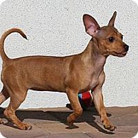 Adopt A Pet :: Janet - Torrance, CA