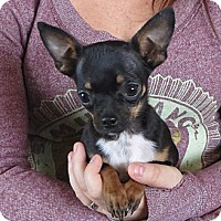 Adopt A Pet :: Batman 2.8 Pounds - Salem, NH
