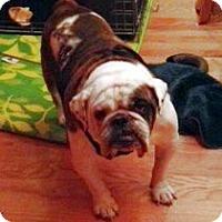 Adopt A Pet :: Bongo - Chicago, IL