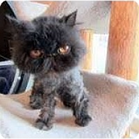 Adopt A Pet :: Amber - Arlington, VA