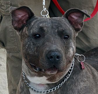 Pit Bull Terrier Mix Dog for adoption in Palmdale, California - Bandit