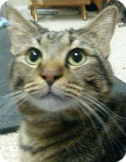 Domestic Shorthair Cat for adoption in Colfax, Iowa - KitKat