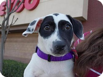 Border Collie/Jack Russell Terrier Mix Dog for adoption in Bakersfield, California - Jersee