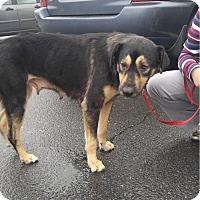 Adopt A Pet :: Sage - Gainesville, VA