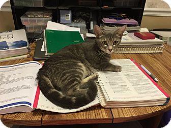 Domestic Shorthair Cat for adoption in Marietta, Georgia - Angel