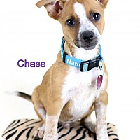 Adopt A Pet :: Chase - Bloomington, MN
