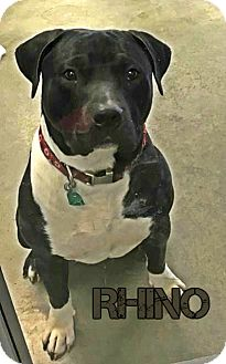 American Pit Bull Terrier Mix Dog for adoption in Des Moines, Iowa - Rhino