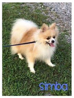 Pomeranian Dog for adoption in Wilmington, Delaware - Simba