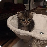 Domestic Shorthair Kitten for adoption in Asheboro, North Carolina - Julia