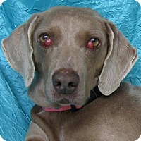 Weimaraner Dog for adoption in Cuba, New York - Kay Jacobs