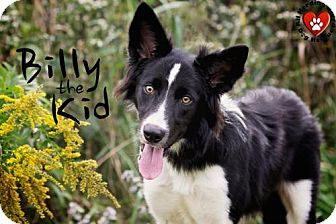 Border Collie Dog for adoption in Joliet, Illinois - Billy the Kid