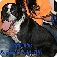 Adopt A Pet :: Bullwinkle - Cheney, KS