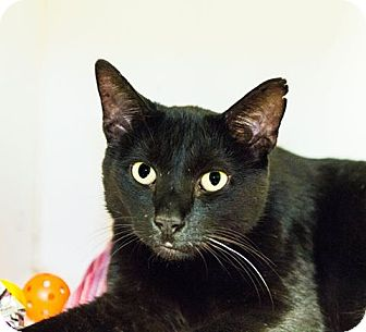 Domestic Shorthair Cat for adoption in Seville, Ohio - Beetle Juice