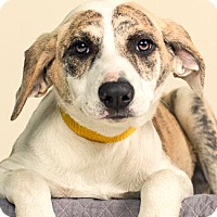 Adopt A Pet :: PERLA - Pt. Richmond, CA