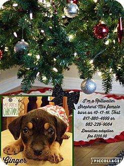 Rottweiler/German Shepherd Dog Mix Puppy for adoption in springtown, Texas - Ginger