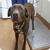 Adopt A Pet :: COUGAR - Sacramento, CA