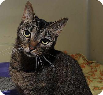 Domestic Shorthair Cat for adoption in Hendersonville, North Carolina - Kyra