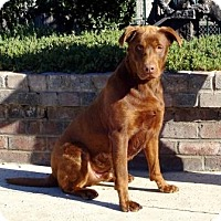 Labrador Retriever/Rottweiler Mix Dog for adoption in Lathrop, California - Sammy