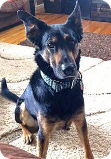 Odin   Adopted Dog   Denver, CO   German Shepherd Dog ... Bengal Cat Denver Co