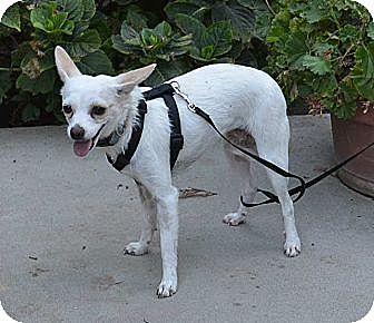 Chihuahua Mix Dog for adoption in Lodi, California - Bambi